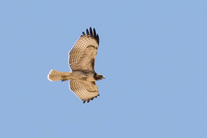 Red-tailed Hawk Picture