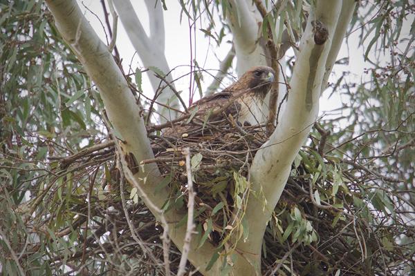 Red-tailed Hawk @ Municipal Golf Course, Santa Barbara, CA