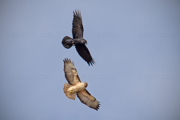 Red-tailed Hawk (w/Common Raven)