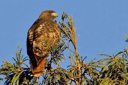 Red-tailed Hawk (Rufous)