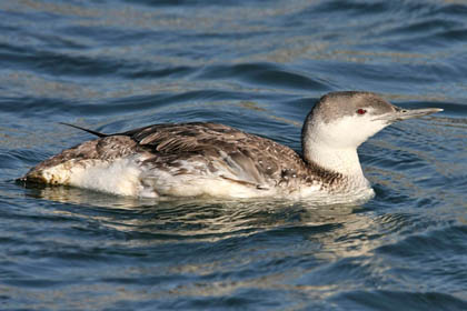 Red-throated Loon Photo @ Kiwifoto.com