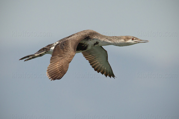 Red-throated Loon Picture @ Kiwifoto.com