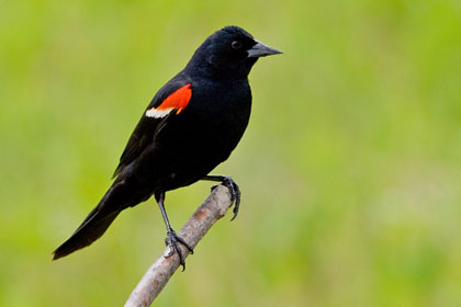 Red-winged Blackbird Picture @ Kiwifoto.com