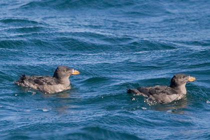 Rhinoceros Auklet Photo