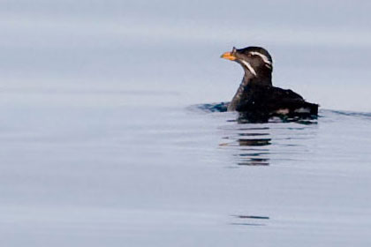 Rhinoceros Auklet Photo @ Kiwifoto.com