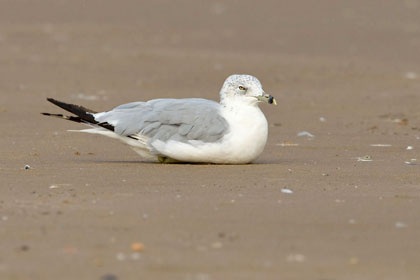 Ring-billed Gull Photo @ Kiwifoto.com