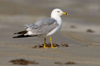 Ring-billed Gull Picture