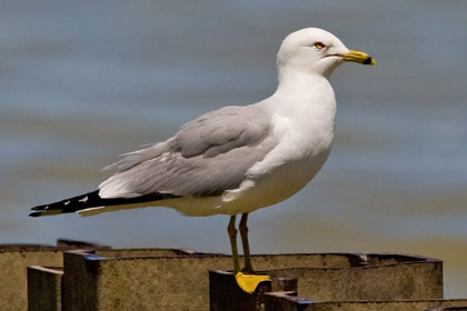 Ring-billed Gull Image @ Kiwifoto.com