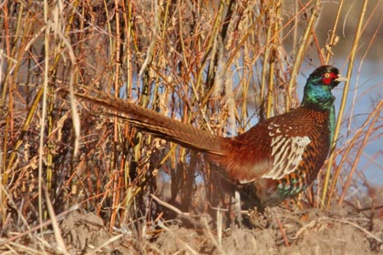 Ring-necked Pheasant Picture @ Kiwifoto.com