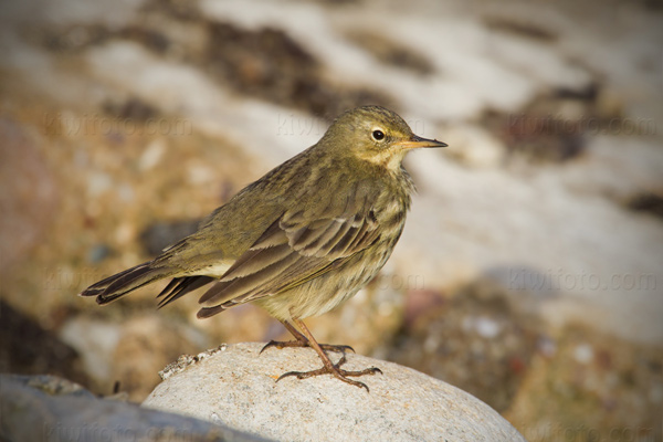 Rock Pipit Photo @ Kiwifoto.com