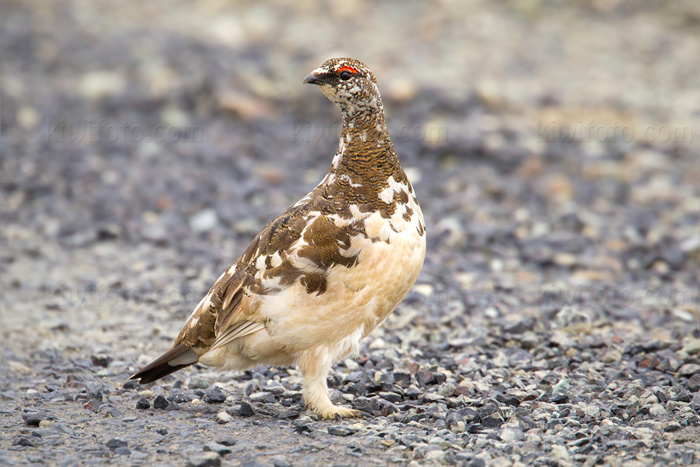 Rock Ptarmigan Picture @ Kiwifoto.com