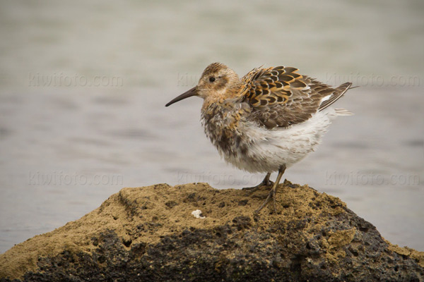 Rock Sandpiper (Pribilof Islands Race)