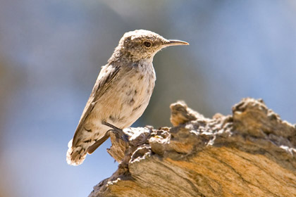 Rock Wren Photo @ Kiwifoto.com