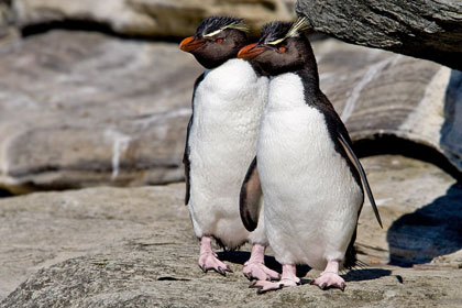 Rockhopper Penguin Photo @ Kiwifoto.com