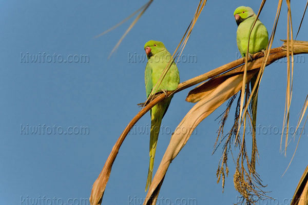 Rose-ringed Parakeet Photo @ Kiwifoto.com