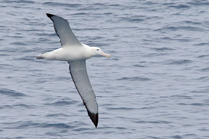 Royal Albatross Picture @ Kiwifoto.com