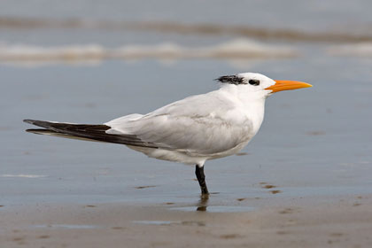 Royal Tern Image