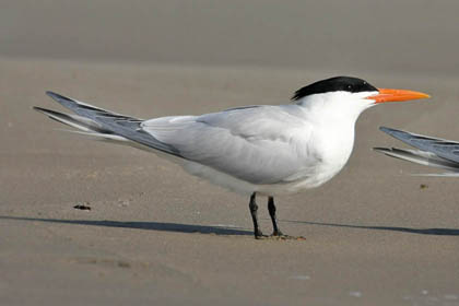 Royal Tern Picture @ Kiwifoto.com