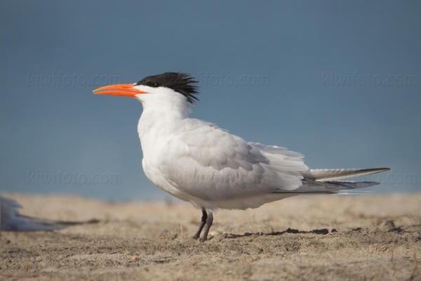 Royal Tern @ Ballona Creek, CA