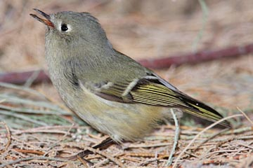 Ruby-crowned Kinglet Image @ Kiwifoto.com
