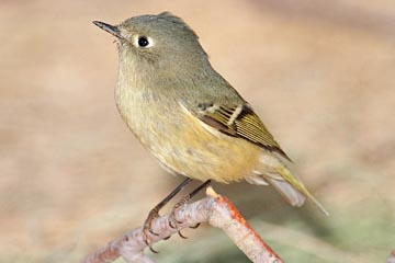 Ruby-crowned Kinglet Photo @ Kiwifoto.com