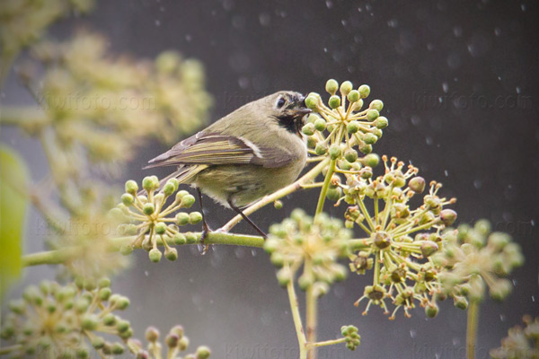 Ruby-crowned Kinglet Picture @ Kiwifoto.com