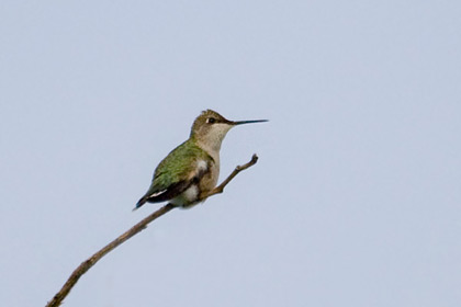 Ruby-throated Hummingbird Image @ Kiwifoto.com