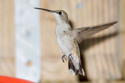 Ruby-throated Hummingbird Photo @ Kiwifoto.com