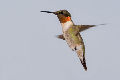 Ruby-throated Hummingbird Picture @ Kiwifoto.com