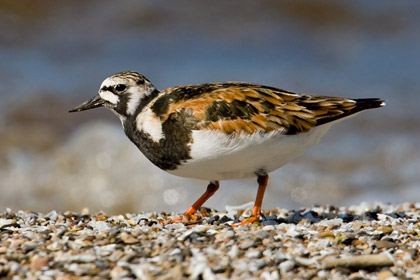 Ruddy Turnstone Photo @ Kiwifoto.com