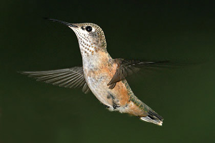 Rufous Hummingbird Photo @ Kiwifoto.com