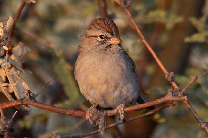 Rufous-winged Sparrow Picture @ Kiwifoto.com
