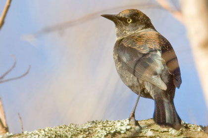 Rusty Blackbird Photo @ Kiwifoto.com