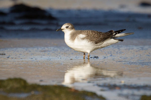 Sabine's Gull Photo @ Kiwifoto.com