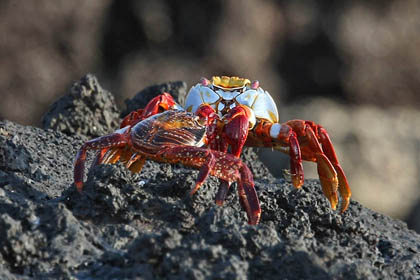 Sally Lightfoot Crab Photo @ Kiwifoto.com