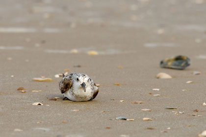 Sanderling Photo @ Kiwifoto.com