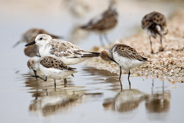 Sanderling @ Salt Creek, Salton Sea, CA