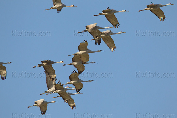 Sandhill Crane Photo @ Kiwifoto.com