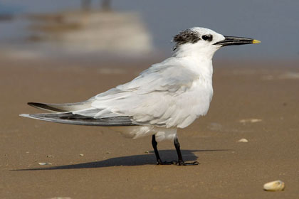 Sandwich Tern Picture