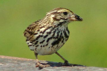 Savannah Sparrow (Belding's)