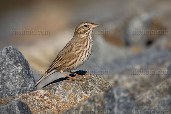 Savannah Sparrow Picture @ Kiwifoto.com