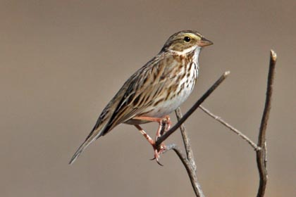 Savannah Sparrow Photo @ Kiwifoto.com
