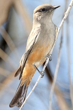 Say's Phoebe Photo @ Kiwifoto.com