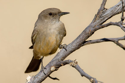Say's Phoebe (Incubating Female)