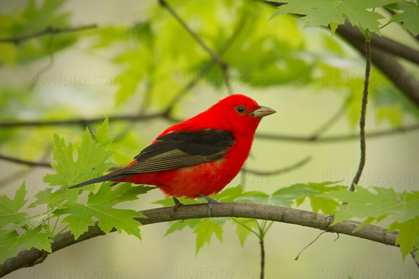Scarlet Tanager Picture @ Kiwifoto.com
