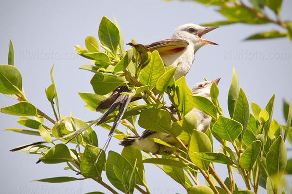 Scissor-tailed Flycatcher WEKI x STFL @ Santa Paula (Teague Park), CA