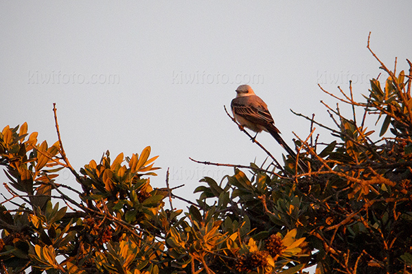 Scissor-tailed Flycatcher @ Santa Monica (Woodlawn Cemetery), CA