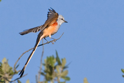 Scissor-tailed Flycatcher Photo @ Kiwifoto.com
