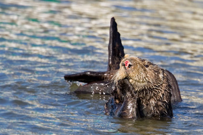 Sea Otter Photo @ Kiwifoto.com