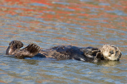 Sea Otter Picture @ Kiwifoto.com